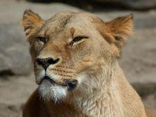 Free Lion Stock Photos - 759453