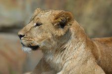 Free Female Lion Stock Photo - 759480