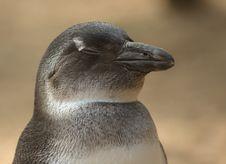 Penguin Sleeping Royalty Free Stock Image
