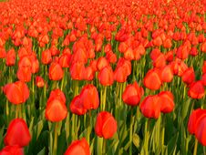 Free Tulips Royalty Free Stock Images - 759629
