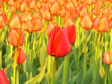 Free Tulip Royalty Free Stock Photos - 759638