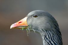 Free Close-up Of A Goose Eating Royalty Free Stock Images - 759719