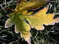 Free Frosty Winter Leaf. Royalty Free Stock Images - 763159