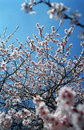 Free Tree Flowers In Spring Stock Photos - 768033