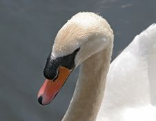 Free Swans Heads With Water Droplets Stock Image - 760141