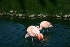 Free Hungry Flamingos Royalty Free Stock Photos - 760688