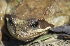 Free Frog Portrait Royalty Free Stock Images - 760989