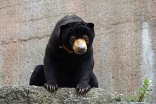 Free Sun Bear Stock Image - 761051