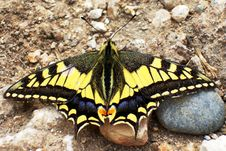 Free Swallowtail Butterfly Royalty Free Stock Photo - 761065
