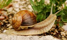 Free Snail In The Nature Royalty Free Stock Photo - 761445