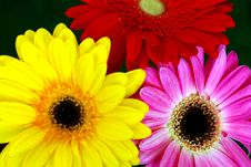 Free Three Gerberas Royalty Free Stock Photo - 761525