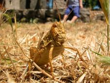 Free Grasshopper Monster Royalty Free Stock Photography - 762137