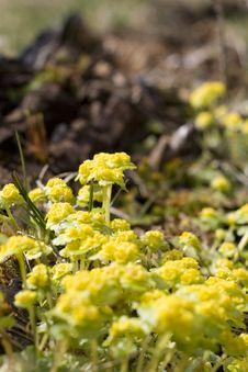 Yellow Mountain Flowers Stock Photos