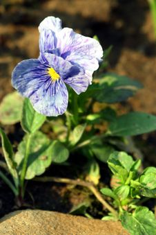 Free Pansies. Royalty Free Stock Photography - 763377