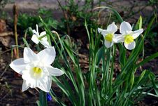 Free Narcissus. Royalty Free Stock Photography - 763427