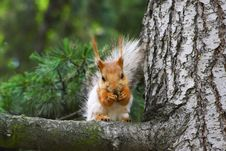 Free Squirrel Royalty Free Stock Photos - 763568