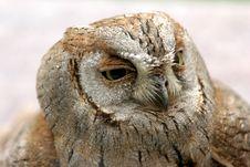 Free Owl Royalty Free Stock Photo - 763795