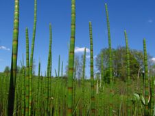 Free Water Horsetail Stock Images - 763834