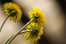 Free Sunny Dandelion Stock Images - 764004