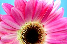 Free Pink Gerbera Stock Image - 764341