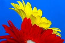Free Two Gerberas Stock Photography - 764362