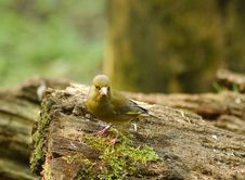 Free Greenfinch Stock Photos - 764843