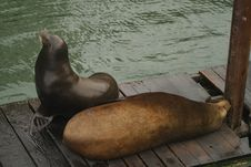 Free Sea Lions Sleeping. Royalty Free Stock Images - 764999