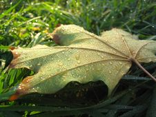 Free Dewy Leaf Royalty Free Stock Photography - 765417