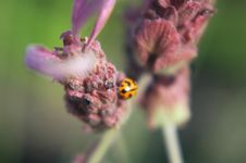 Free Ladybug On Lavender Royalty Free Stock Photos - 765798