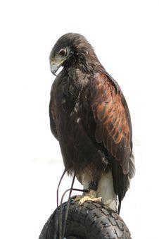 Free Tyred Hawk Stock Image - 767331