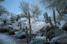 Free Cactus  In IR Royalty Free Stock Image - 767726