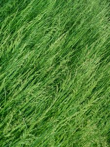 Free Dense, Lush Green Grass Stock Photography - 768562