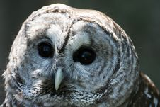 Free Barred Owl Stock Photo - 768940