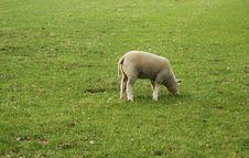 Free Lamb Royalty Free Stock Photo - 769405
