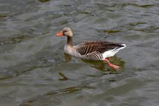 Goose In The Water Stock Photography