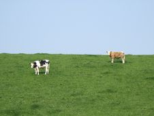 Free Cows On A Meadow Royalty Free Stock Photos - 769638