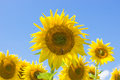 Free Sunflowers Blooming In Farm Royalty Free Stock Photography - 76057217