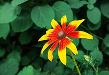 Yellow-red Flower Closeup Stock Photography
