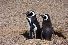 Magellanic Penguins Couple Stock Photography