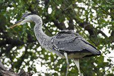 Black-Headed Heron Perched Royalty Free Stock Photo