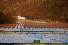 Free Winter Vineyard Royalty Free Stock Photography - 7629227