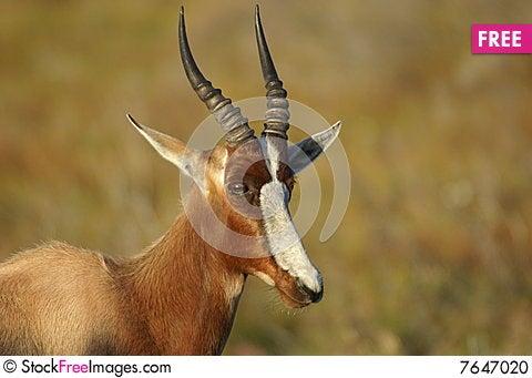 Bontebok antelope Stock Photo