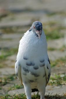 Free Pigeon Royalty Free Stock Photos - 7651148