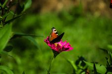 Free Butterfly On A Pink Flower Royalty Free Stock Image - 76669186
