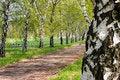 Free Birches Stock Image - 770091