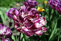 Free Parrot Tulip Stock Photography - 770952