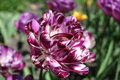 Free Parrot Tulip 2 Royalty Free Stock Photography - 770957