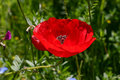 Free Red Poppy Royalty Free Stock Images - 771109
