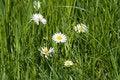 Free Daisy Royalty Free Stock Photos - 772988