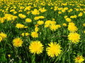 Free Yellow Flowers Royalty Free Stock Image - 779336